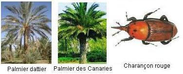 Charançon rouge des palmiers