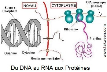 transcription ADN en ARN