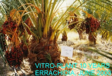 date palm clones from tissue culture