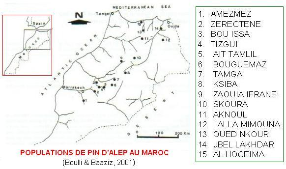 pinus halepensis populations in Morocco