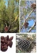 Pine tree (Pinus halepensis). Morocco populations