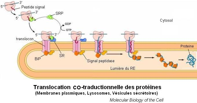 translocation co-traductionnelle